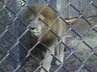 Lion Pee