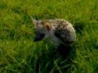 Meet my Pet - The Hedgehog,