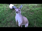 kangaroo and lemur play tag