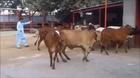 Psy Style Shaukat dairies farm